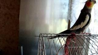 papuga nimfa śpiewa