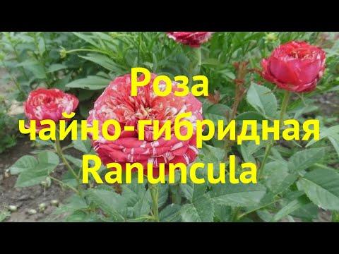 Роза чайно-гибридная Ранункула. Краткий обзор, описание характеристик, где купить саженцы Ranuncula