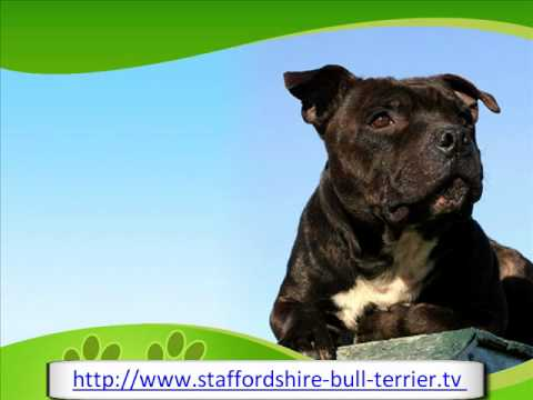 The Affectionate Staffordshire Bull Terrier