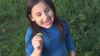 Wensday eats Miners Lettuce Claytonia perfoliata