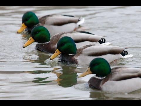и птиц фото уток