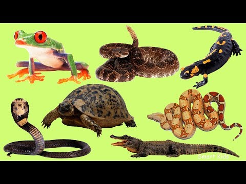 Learn Names And Sound  Amphibians And Reptiles  In English For Children