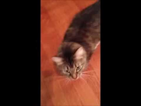 American Bobtail Kittens in new owners home