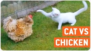 Cat V Chicken | Furry Scuffle  Club