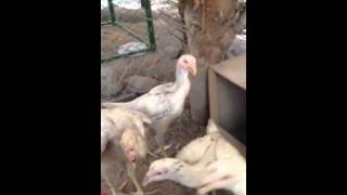 دجاج هندي Chicken ornamental in saudi arabia