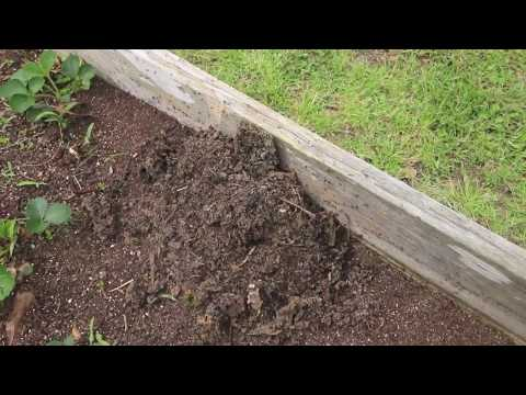 How to get rid of ants in the garden organically