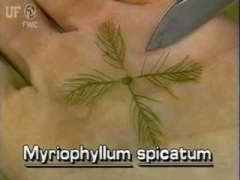 How to identify Eurasian water milfoil Myriophyllum spicatum