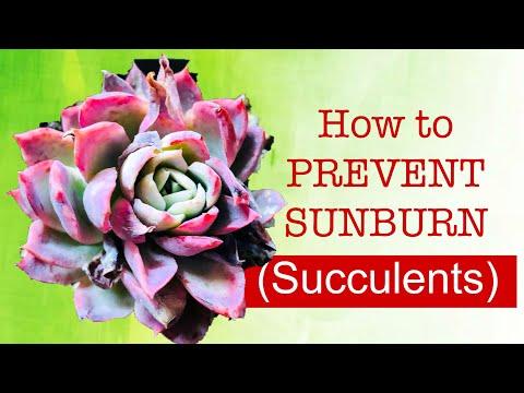 HOW TO PREVENT SUNBURN IN SUCCULENTS (Why SUCCULENTS get SUNBURN )