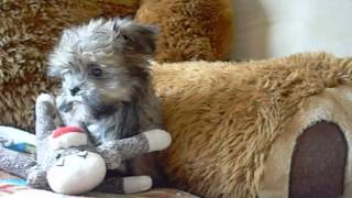 Shorkie Puppies Available At Www.pricelesspups.net Shih Tzu Yorkie Mix