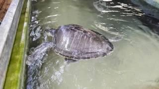 Turtle farm & hatchery, Koggala, Sri Lanka