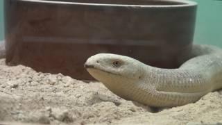 バルカンヘビガタトカゲ Sheltopusik 東山動物園