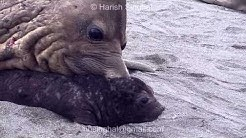 STRANGE BEHAVIOR  of ELEPHANT SEAL WITH CALF