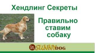 Пес длинноват - мастер класс как ставить собаку в стойку Хитрости хендлинга  Нюансы и особенности