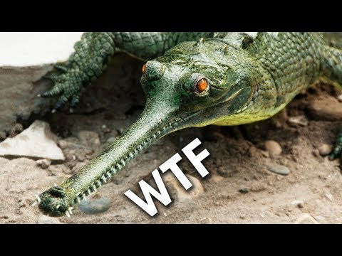 Gharials: Dont Boop The Snoot