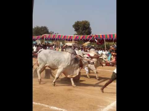 Bull Race in Singotam Jatara Kollapur