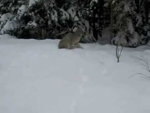 Here is what a Lynx says in Riding Mountain National Park