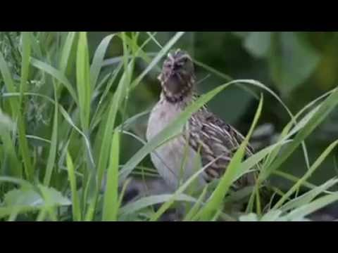 Male Quail Call HD