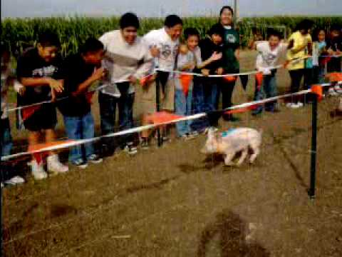 Pig Races at Fantozzi Farms Corn Maze & Pumpkin Patch