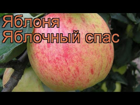 Яблоня обыкновенная Яблочный спас (malus) 🌿 обзор: как сажать, саженцы яблони Яблочный спас