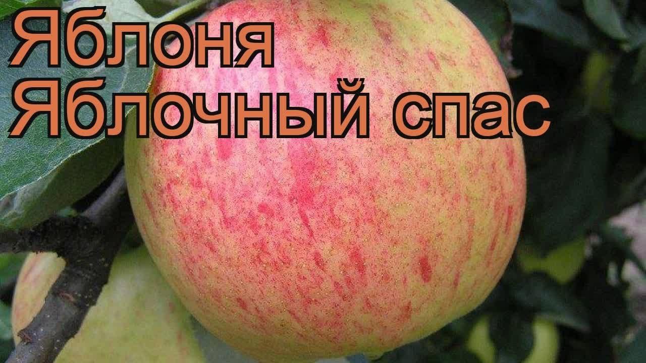 Яблоня обыкновенная Яблочный спас (malus) ? обзор: как сажать ...