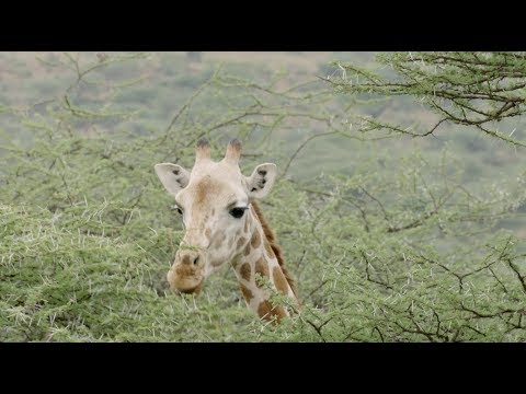 World Giraffe Day 2018 thumbnail