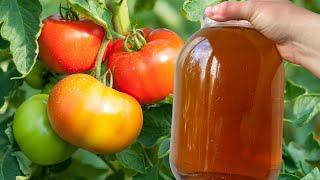 Сделайте это с томатами в августе и собирайте плоды до первых заморозков Уход за томатами август
