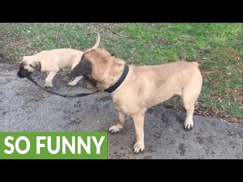 English Mastiff 'allows' puppy to walk him on leash