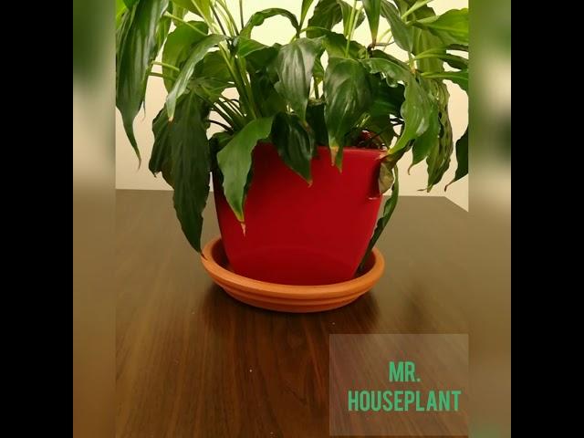 Lírio da paz- Planta purificadora de ar