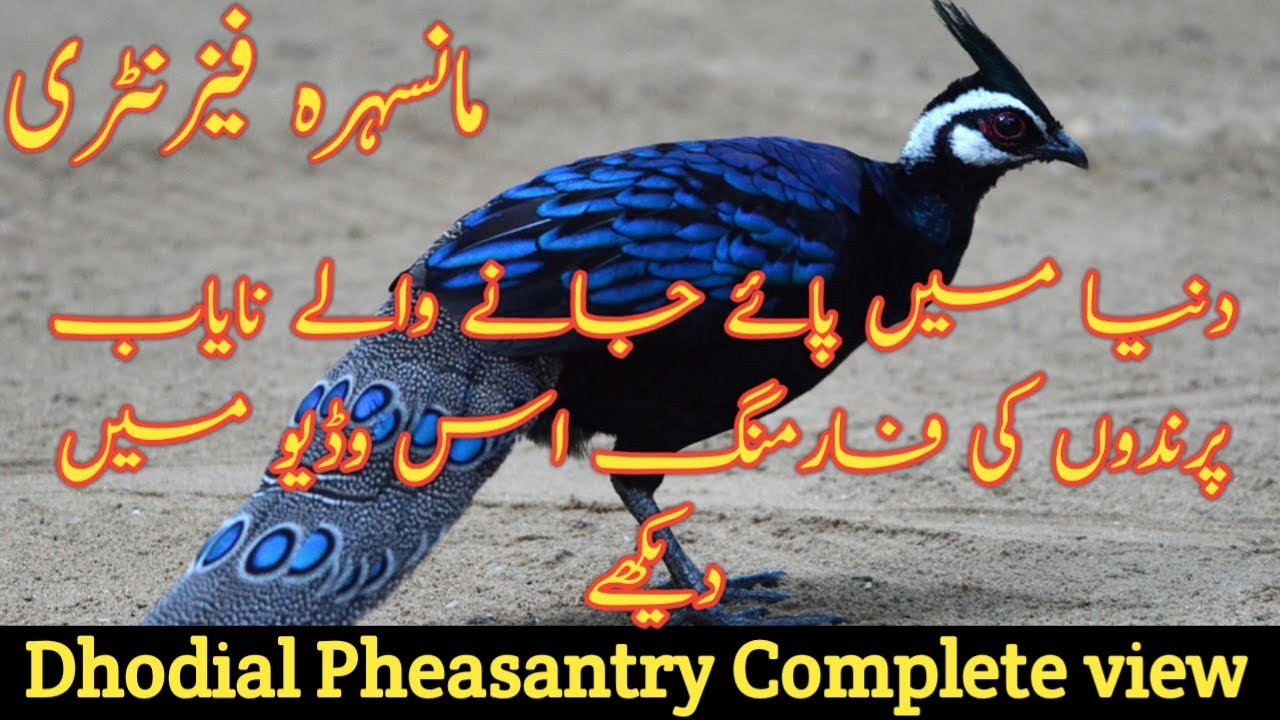 Extra Large Size Flymango Birds 03459442750 Zain Ali Farming in