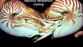 Chambered Nautilus Breeding Program