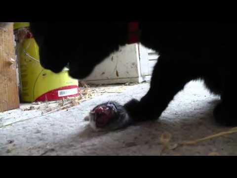 ネズミを食べる猫