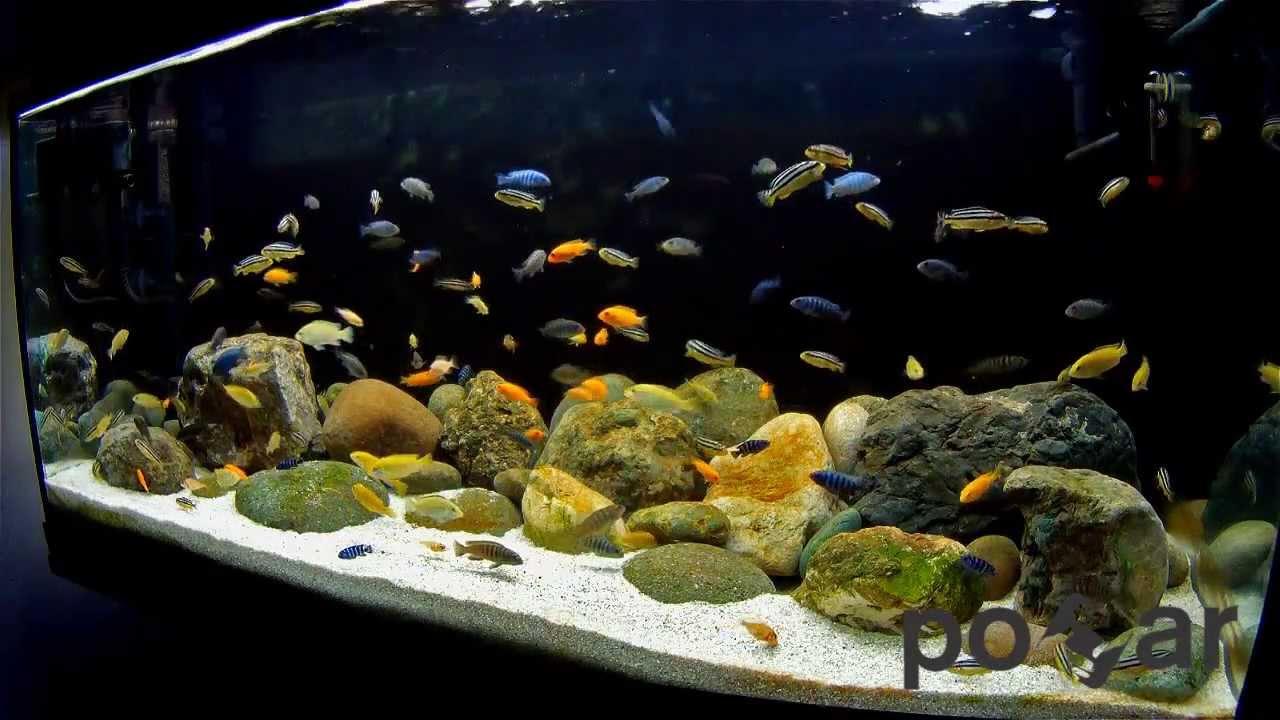 African cichlids aquarium lake malawi youtube for Cichlid fish tank