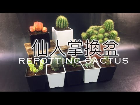 [K+]教你移植多肉植物  換盆 仙人掌 REPOTTING CACTUS Gardening Guides