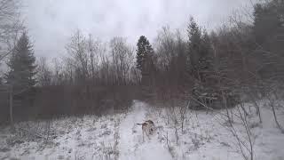Охота #218 с гончими на зайца