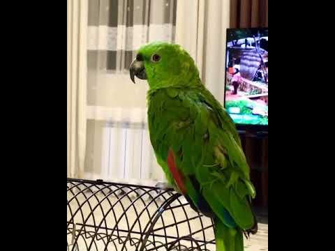 Говорящий желтошейный амазонский попугай
