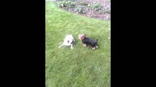 Pug Vs. Yorkshire Terrier