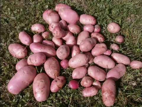 Картофель Манифест: характеристики сорта картофеля Манифест