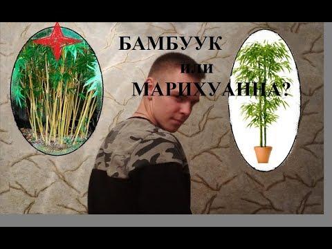 Вопрос: Как вырастить бамбук дома и что для этого нужно?