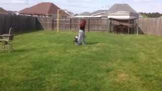 Nadja - American Pitbbull Terrier - Jcm's Dog Training School Graduate