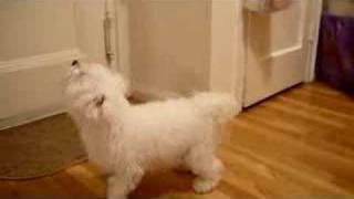 Maltese Bella Jumping At Door