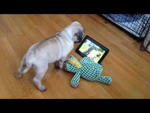 PUG PUPPY WATCHING DOG TV!!!