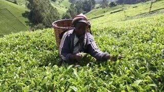 #ITCbooks: Kenyan tea farmers adapt to climate change