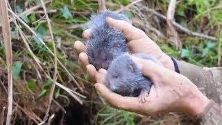 挖到2只小竹鼠,為了它們能更好的成長,大叔把它們放回原處,繼續挖筍去 thumbnail