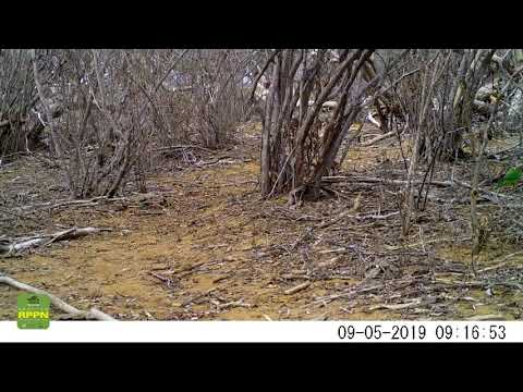 Periquito da Caatinga (Eupsittula cactorum) -  Floresta Legal - Ourolândia - BA