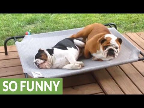 Bulldog's foot falls asleep, stumbles out of bed