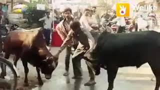 Very denger animal (cow and man funny)