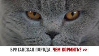 Чем кормить британского кота? БРИТАНСКАЯ КОРОТКОШЕРСТНАЯ ПОРОДА