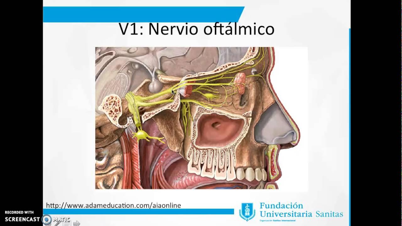 Anatomía del nervio trigémino - Quinto par craneal - YouTube