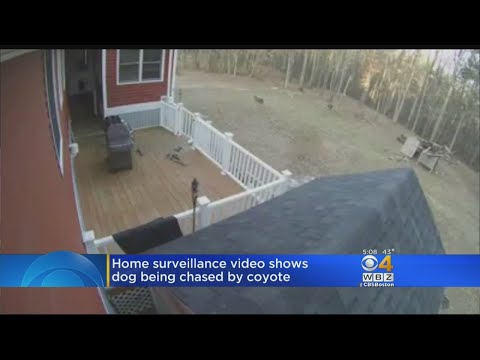 Video Shows Pit Bull Escape Attacking Coyotes In New Hampshire Backyard