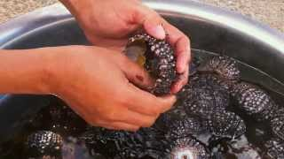 Preparing a sea urchin for eating - Life In The Philippines